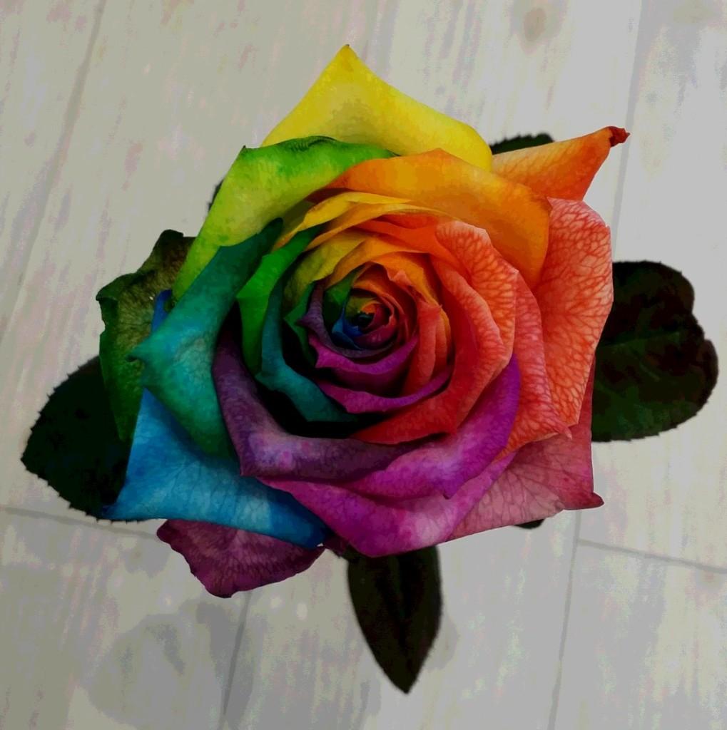 虹色バラ2